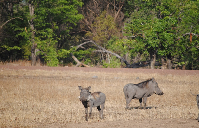 Zambia_warthogs 30+ Amazing Places And Things to do In Zambia and things to see