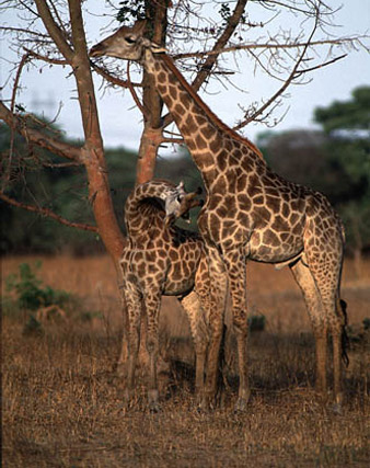 giraffe_2 Zambia Itinerary 30+ Amazing Places And Things to do