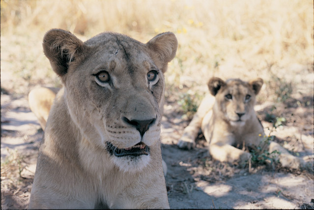 lioness 30+ Amazing Places And Things to do In Zambia and things to see
