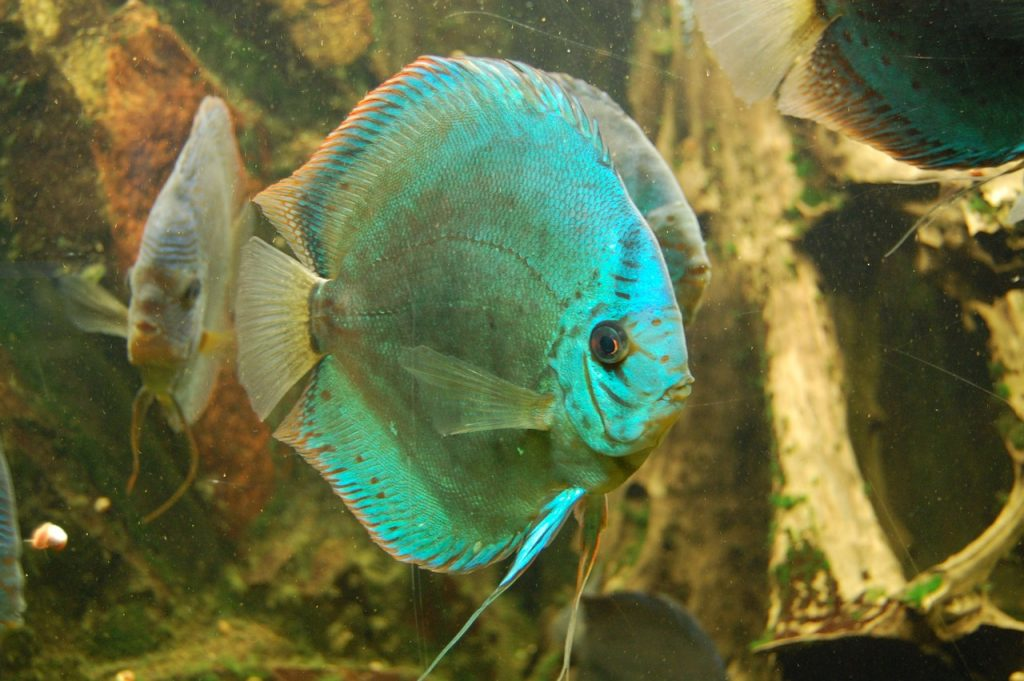 discus-cichlid-908863_1280-1024x681 Lake Tanganyika: Amazing Facts