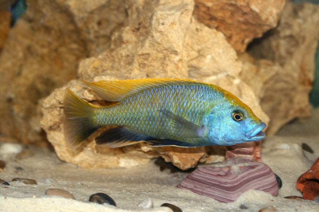 nimbochromis-venustus-1598391_1280-1024x682 The Majestic and Wondrous Lake Malawi